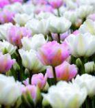 Tulipe \'Tendresse\'