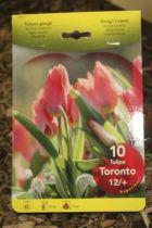 Tulipe \'Toronto\'