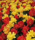 Tulipes Mélange Trio de Feu