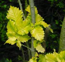 Ulmus * carpinifolia \'Wredei\'