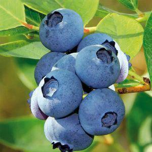 Vaccinium * corymbosum \'Blue Crop\'