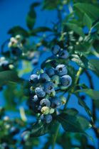 Vaccinium * corymbosum \'Hardy blue\'