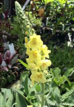 Verbascum \'Gainsborough\'
