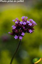 Verbena* bonariensis