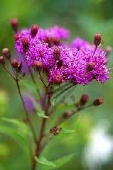 Vernonia crinita \'Mammuth\'