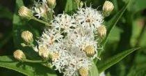 Vernonia noveboracensis \'White Lightning\'