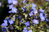 Veronica peduncularis \'Georgia Blue\'