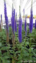Veronica spicata \'Royal Candles\' (Glory)