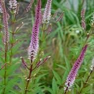 Veronicastrum vir. \'Red Arrows\'