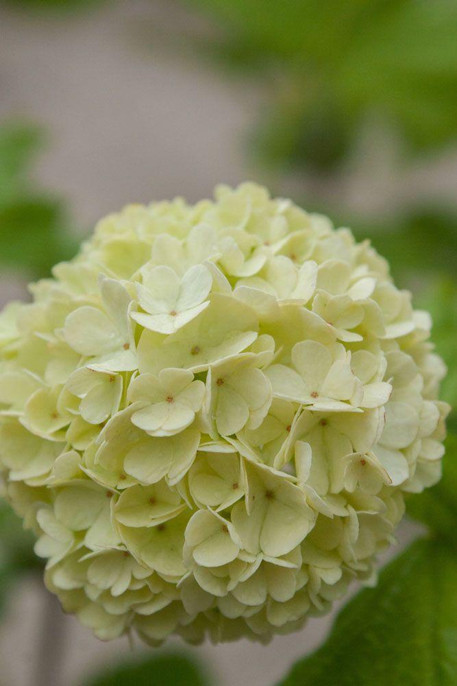 Viburnum* opulus \'Roseum\'