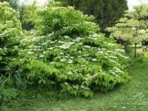 Viburnum_plicatum_\'Mariesii\'