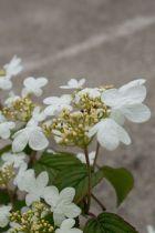 Viburnum* plicatum \'Summer Snowflake\'