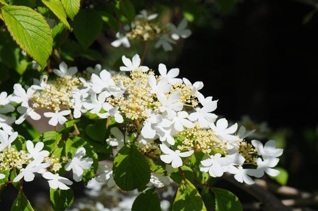 viburnum-plicatum-watanabe