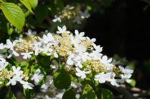 Viburnum* plicatum \'Watanabe\'