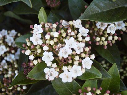 Viburnum tinus purpureus
