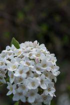 Viburnum* x burkwoodii