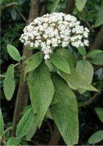 viburnum_rhytidophyllum
