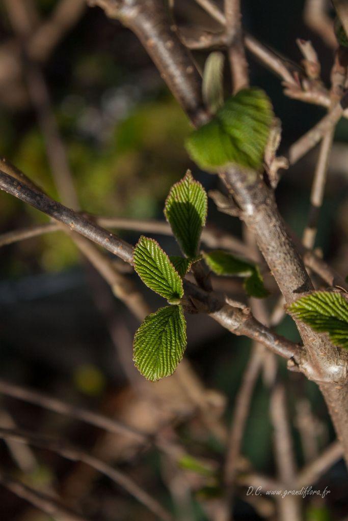 Viburnum plicatum \' Lanarth \'