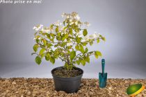 Viburnum plicatum \'Lanarth\' ¤