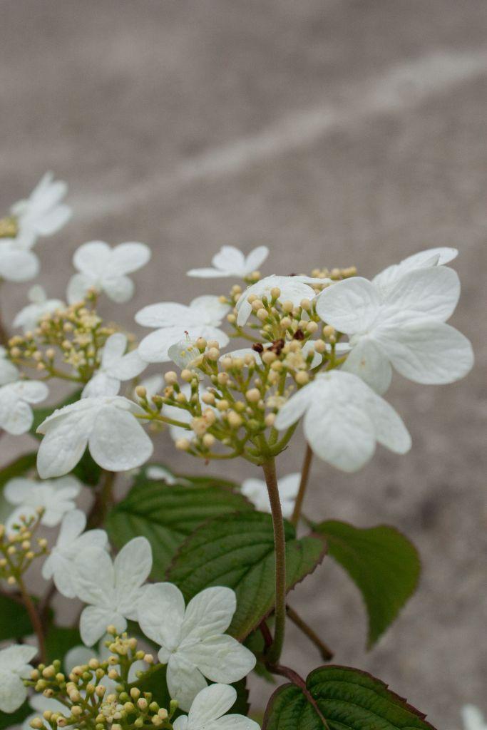 Viburnum plicatum summer snowflake ou viorne du japon, arbuste à floraison blanche de mai à septembre, les fruits rouges se mélangent à la floraison, port étalé, superbe au jardin.