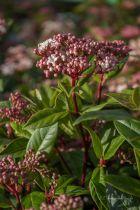 Viburnum tinus \' Gwenlian \'