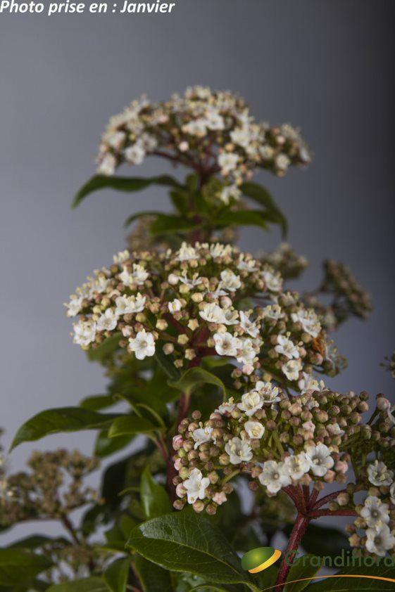 Viburnum tinus ¤