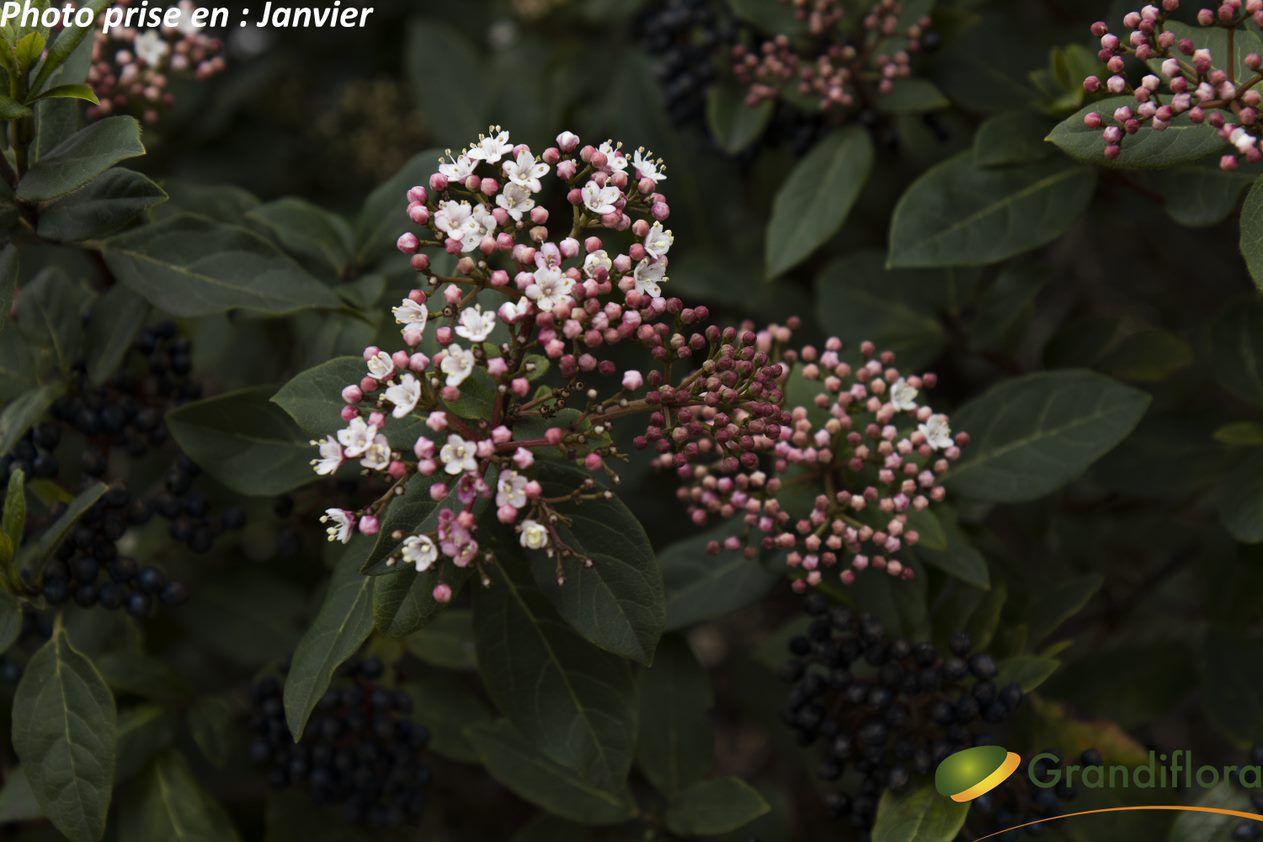 Viburnum tinus \'Gwenlian\' ¤