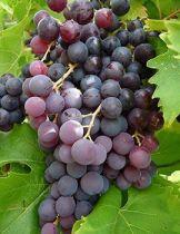 Vigne \'ampelia aladin\' ®, fruitier grimpant à feuilles caduc vert et aux fruits violacés à noir en automne.