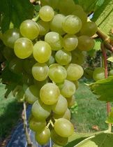 Vigne \'ampelia amandin\', fruitier grimpant à feuilles vert et aux fruits doré en été.