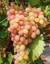 Vigne \'katharina\', fruitier grimpant à feuille caduc vert et aux fruits rose en été.