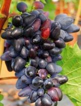 Vigne \'philipp\', fruitier grimpant à feuille caduc vert et aux fruits noir en été.