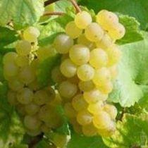 Vigne chasselas doré de Fontainebleau, fruitier grimpant au feuillage caduc et aux fruits dorés en automne.