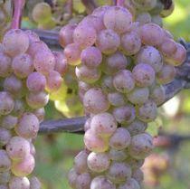 Vigne chasselas violet, fruitier grimpant caduc vert aux fruits en grappes violet en été