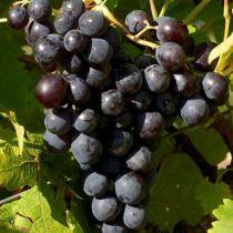 Vigne muscat de Hambourg, fruitier grimpant caduc au feuillage vert et aux fruits noirs à l\'automne.