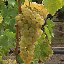 Vigne perle de csaba, fruitier grimpant caduc au feuillage vert et aux fruits doré en été.