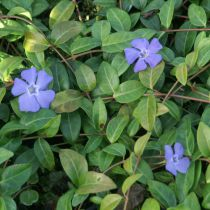 Vinca * minor \'Bowles Variety\'