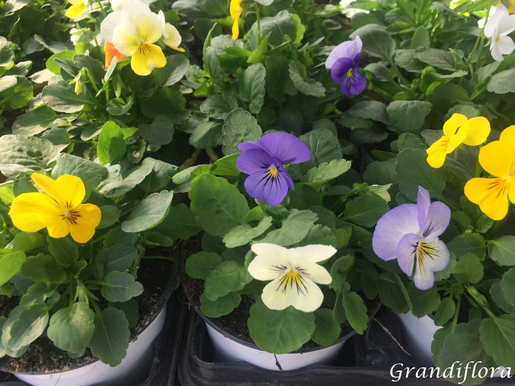 Viola - pensée multicolor