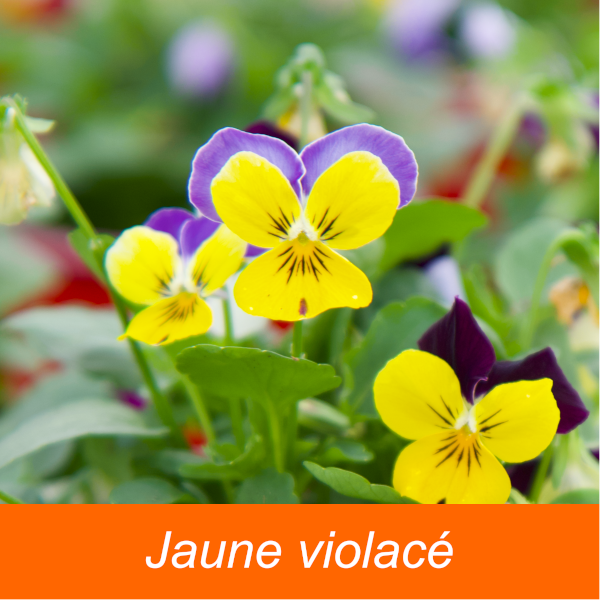 Viola - Pensées \' petites fleurs \'