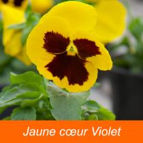 Viola - Pensées \'grandes fleurs\'