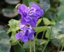 Viola odorata \'De Toulouse\'