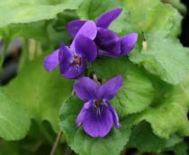Viola odorata \'Princesse de Galles\'