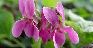 Viola odorata \'Red Charm\'