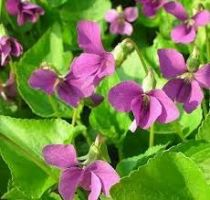 Viola sororia \'Rubra\'