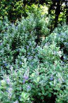 Vitex rotundifolia