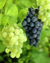 Vitis * vinifera