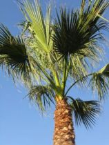 Washingtonia* Filifera