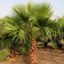 Washingtonia* Robusta