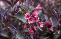 Weigelia florida \'Purpurea\'