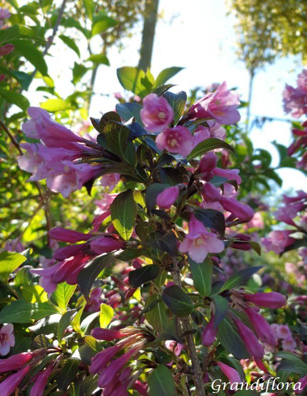 Weigelia florida \'Purpurea\'