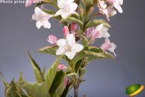 Weigelia florida \'Variegata\'